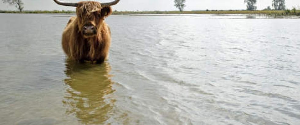Dutch cow passion for dutch nature